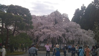 ~太閤しだれ桜~