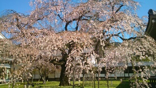 ~霊宝館しだれ桜~
