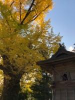 松尾寺 いちょう