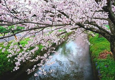 170409桜笠松井