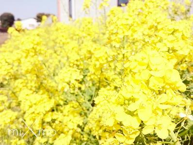 18いせや菜の花