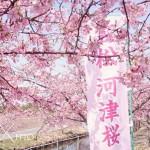 18笠松河津桜1