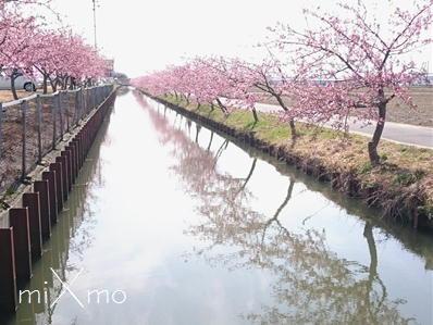笠松 河津 桜 ロード