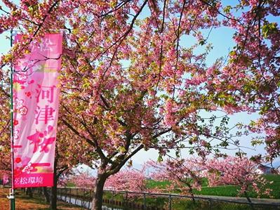 19笠松河津桜2