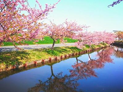 19笠松河津桜4
