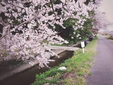 200406桜笠松用水