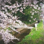 200403笠松用水桜3