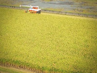 20稲刈り