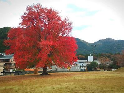 201110ハナノキ全景
