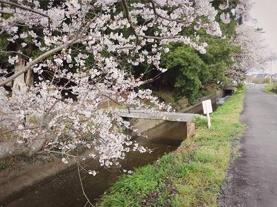 210329桜笠松井4
