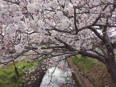 210329桜笠松井32