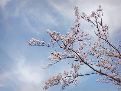 210329桜笠松井2