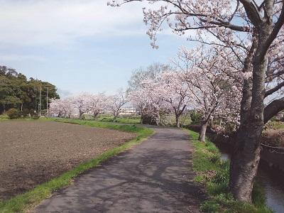 210329桜笠松井1