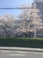 【きれいな桜】