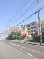 【満開近い桜】