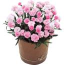 17ピンクカーネーション鉢植え バンビーノ母の日